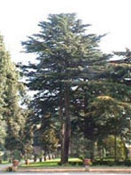 Immagine di MSA CEDRUS LIBANI 50ML